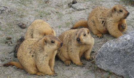 Mas marmotas del Himalaya.