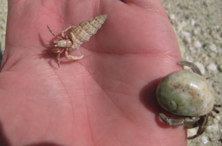 Un par de cangrejos ocupas en mi mano.